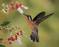 Hummingbird Photo and Picture 21