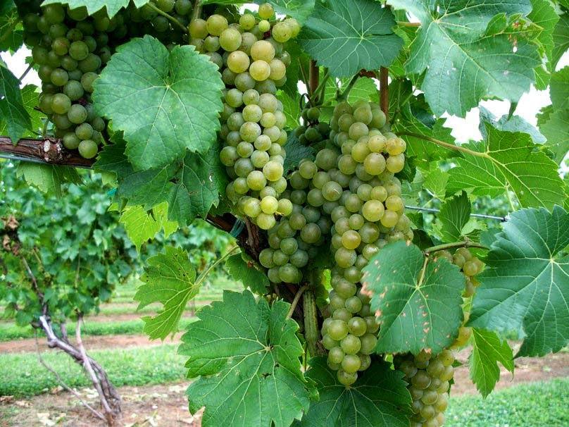 green-grapes-image