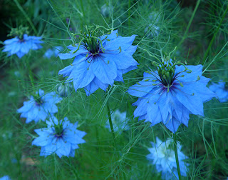 Blue Love in a Mist (Nigella) in garden