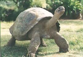 Galapagos Tortoise image