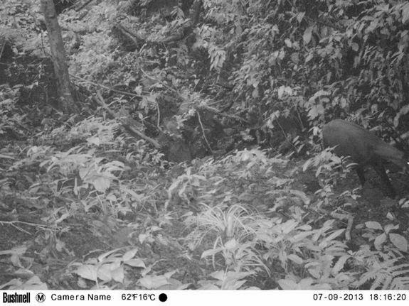 Saola Trail Camera