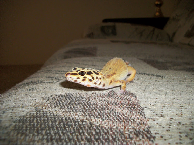 Second-Hand Gecko