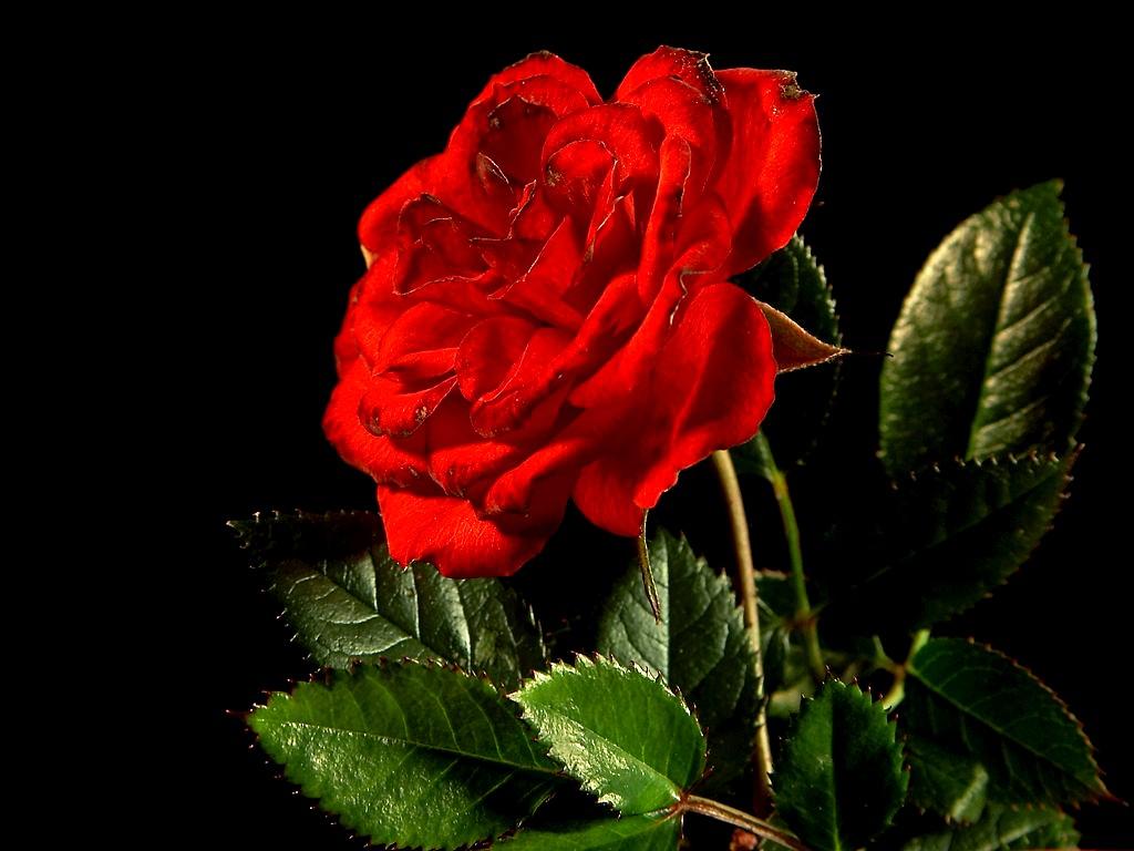 Risultati immagini per San Valentino rosa