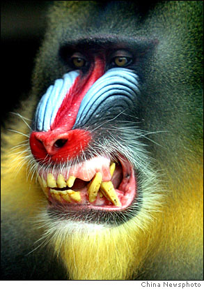 Mandrill closeup - YouTube