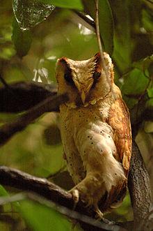 Foto burung hantu wowo-wiwi