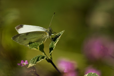 A photograph of a Cabbage White butterfly taken in Sandy Hollow, Australia