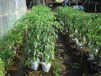 Cara budidaya tanaman Cabe