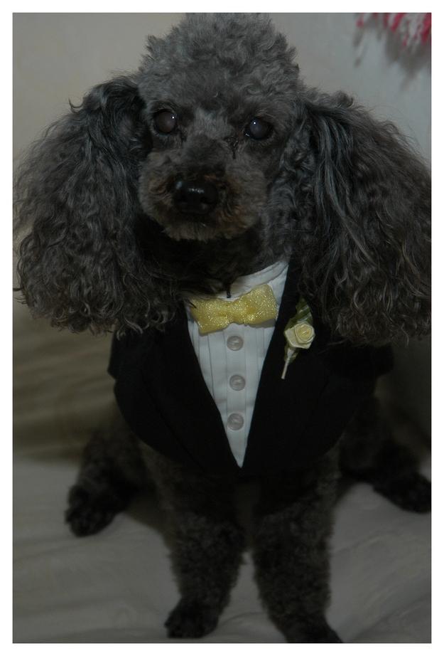 perro poodle con traje de gala