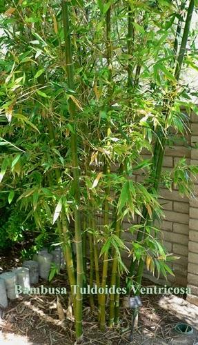 Bambu Buda Belly (Bambusa Tuldoides Ventricosa)
