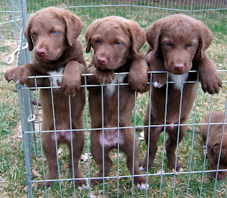 Chesapeake Bay Retriever Puppies 2