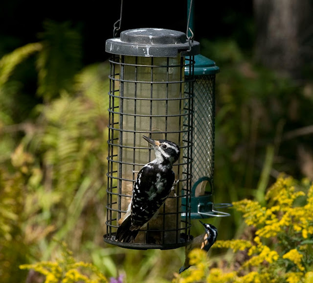 female hairy woodpecker at birdfeeder