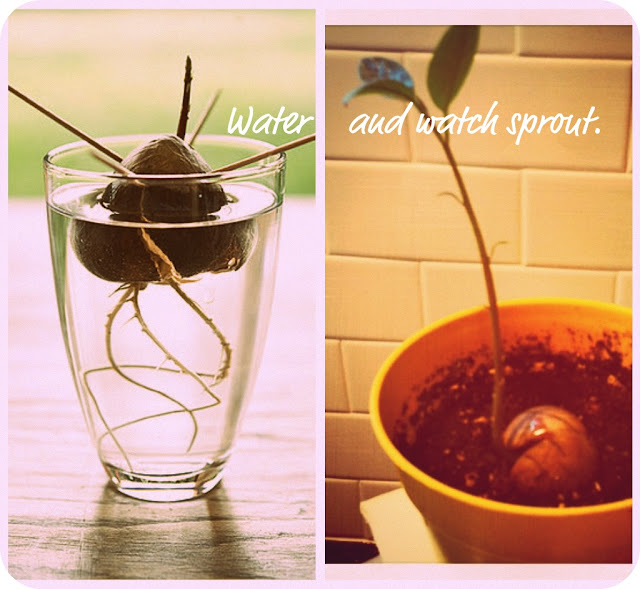 how to get an avocado pit to grow