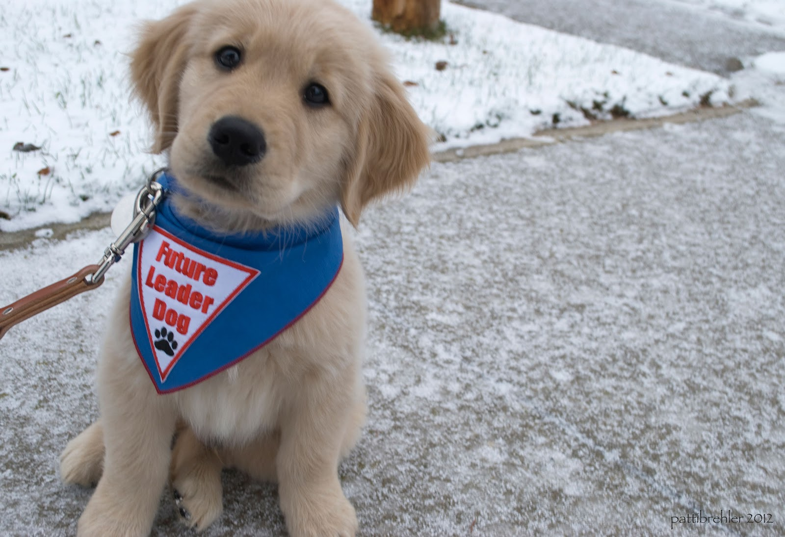 A small golden retriever puppy is sitting on a snowy sidewalk looking at the camera. He is wearing a blue bandana with a white triangle with red letters that say Future Leader Dog and has a black paw print. A leash is hanging from is collar.