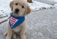 "A small golden retriever puppy is sitting on a frosty sidewalk looking at the camera. He is wearing a blue bandana with a white patch that has red letters that says, ""Future Leader Dog"" with a blue pawprint. A brown leash is attached to his collar. There is snow in the background."