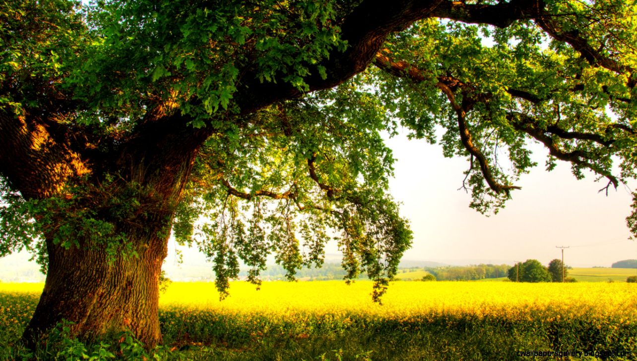 Wallpapers Nature Men Oak Summer Trees Photo 1366x768  1231170