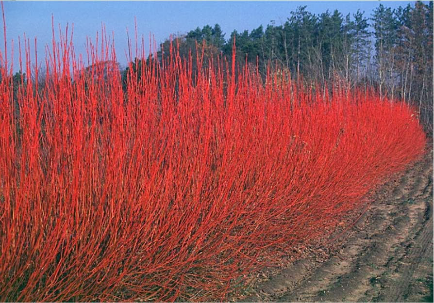 Beechwood landscape architecture and construction red for Red twig dogwood