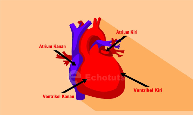 Fungsi dan Mekanisme Kerja Jantung Ruang jantung - biolofi - echotuts
