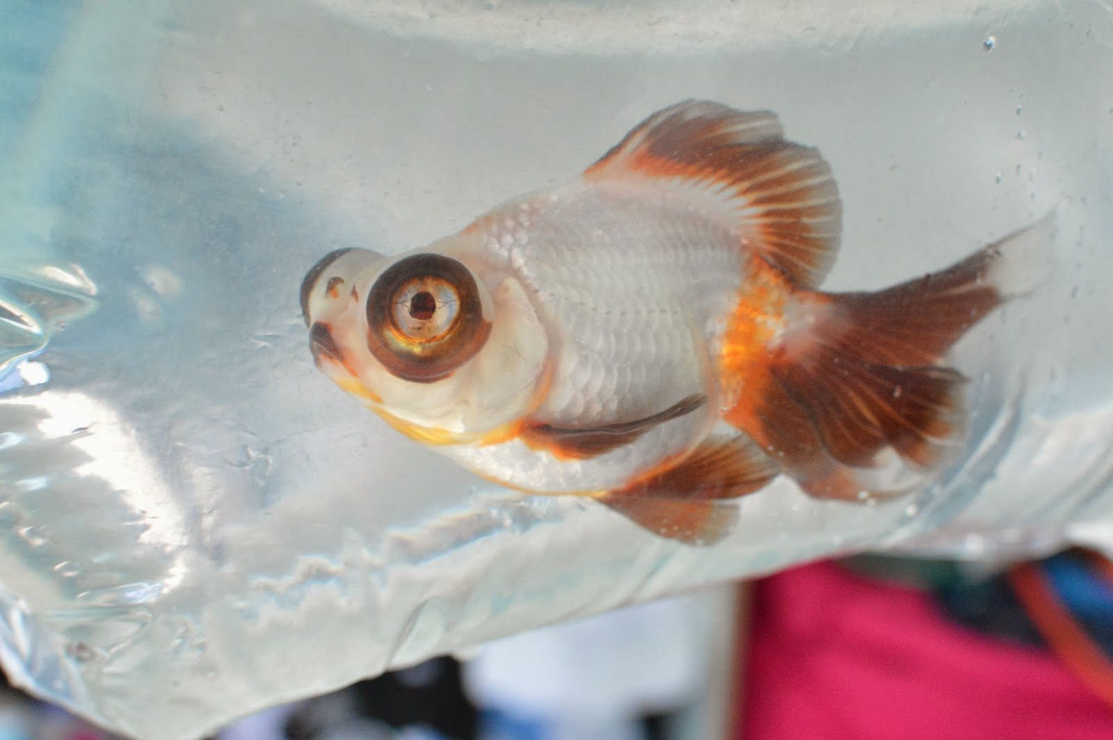 Misuzu's Fancy Goldfish: New Fancy Goldfish