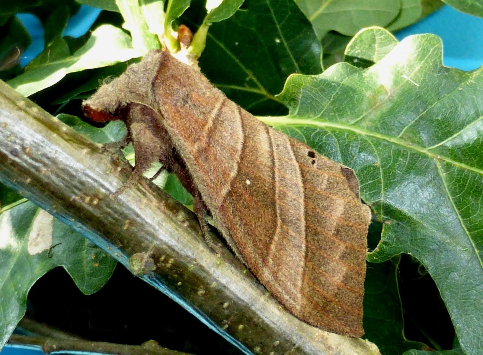 Lebeda trifascia female