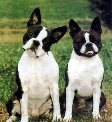 boston terrier pictures funny