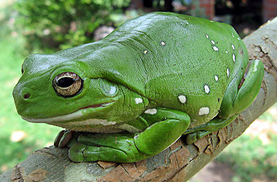 8 frog 10 of the Most Common, Weird and Creepy Animals as Pets