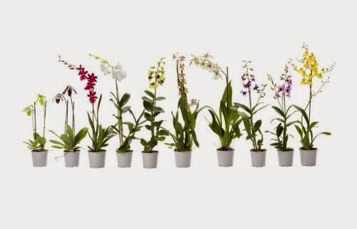 Jenis Tanaman Hias Bunga Anggrek yang Biasa Ada di Indonesia