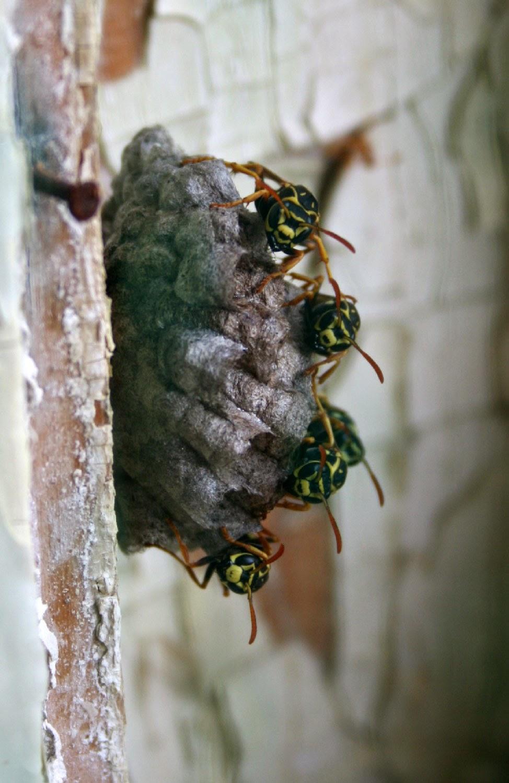 Wasps on their nest