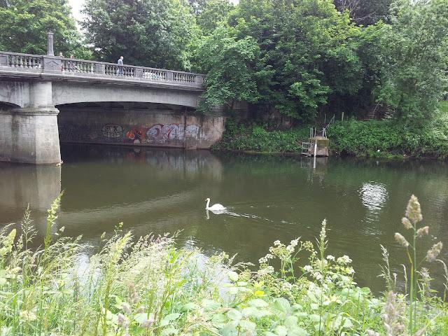 Taff River Cardiff Swan