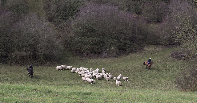 Herding sheep on horseback.  The valley behind Leaves Green, 3 December 2011.