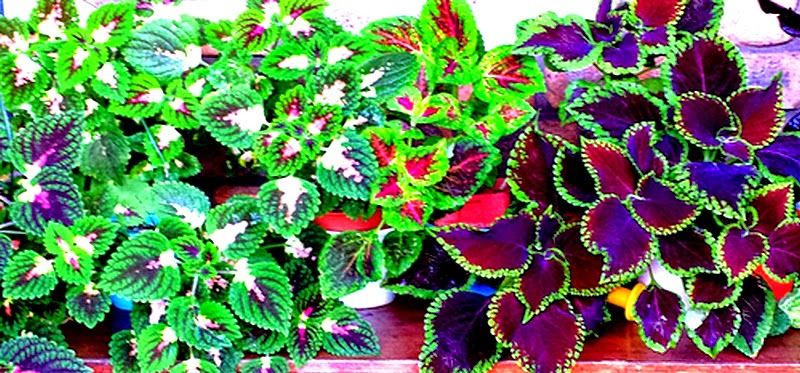 ... Garden Design With How To Grow And Care Coleus Plant With How To Plant  Tulips From