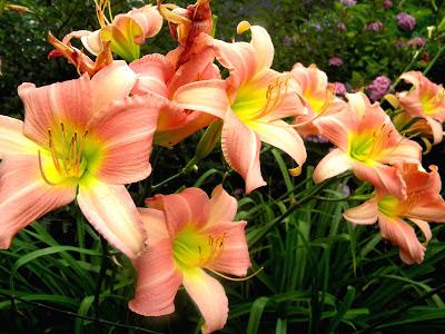 Daylilies Hemerocallis Daylily clipart