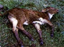 La enfermedad Aftosa en los animales