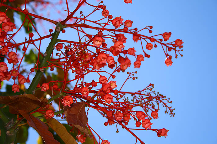 Flame Tree Brachychiton Acerifolius Flowers 2017 Lightcolourshade All Rights Reserved