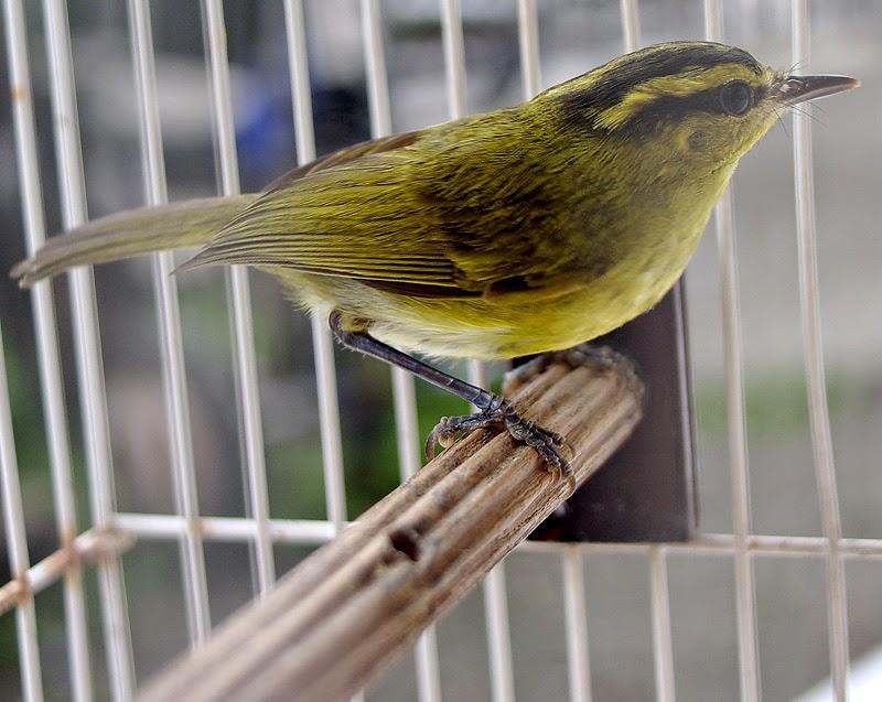 Foto Burung Tralis Terbaik