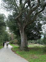 Roure a tocar de la pista asfaltada de la Vileta Xica