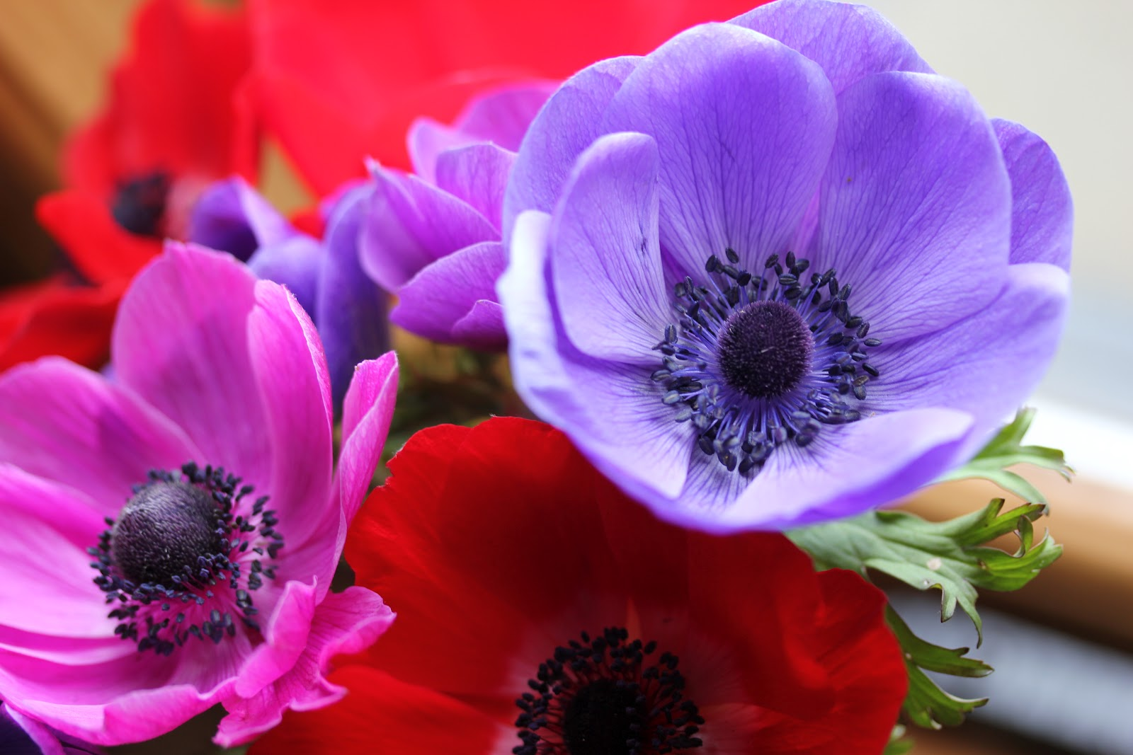 anemone coronaria 39 de caen 39 group but don 39 t be fooled by. Black Bedroom Furniture Sets. Home Design Ideas