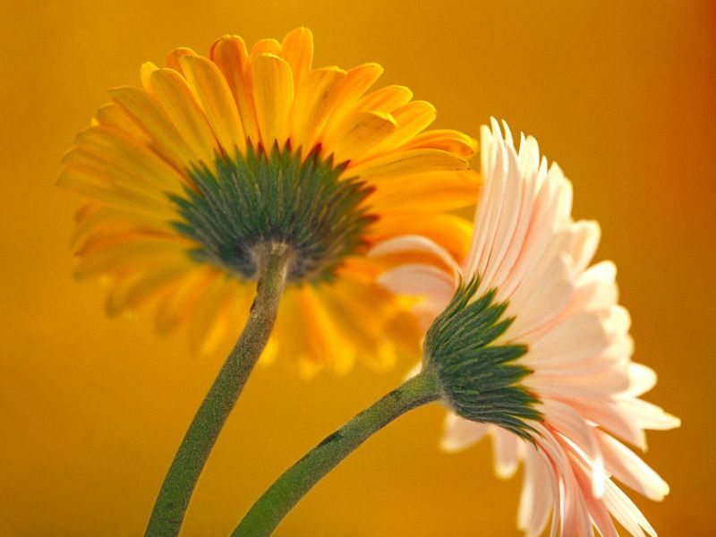 Freedownloading  Flowers Wallpapers 7
