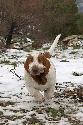 Running Basset Hounds Seen On www.coolpicturegallery.us