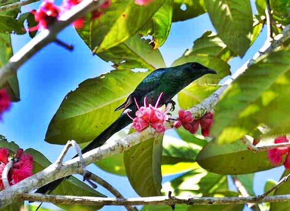 Mengenal Burung Perling Ekor Panjang