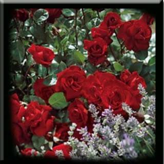 gambar-gambar_mawar