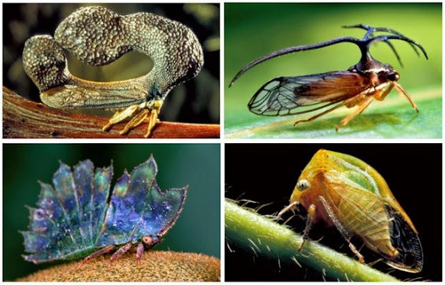 Treehopper Serangga dengan Kepala Unik dan Anek