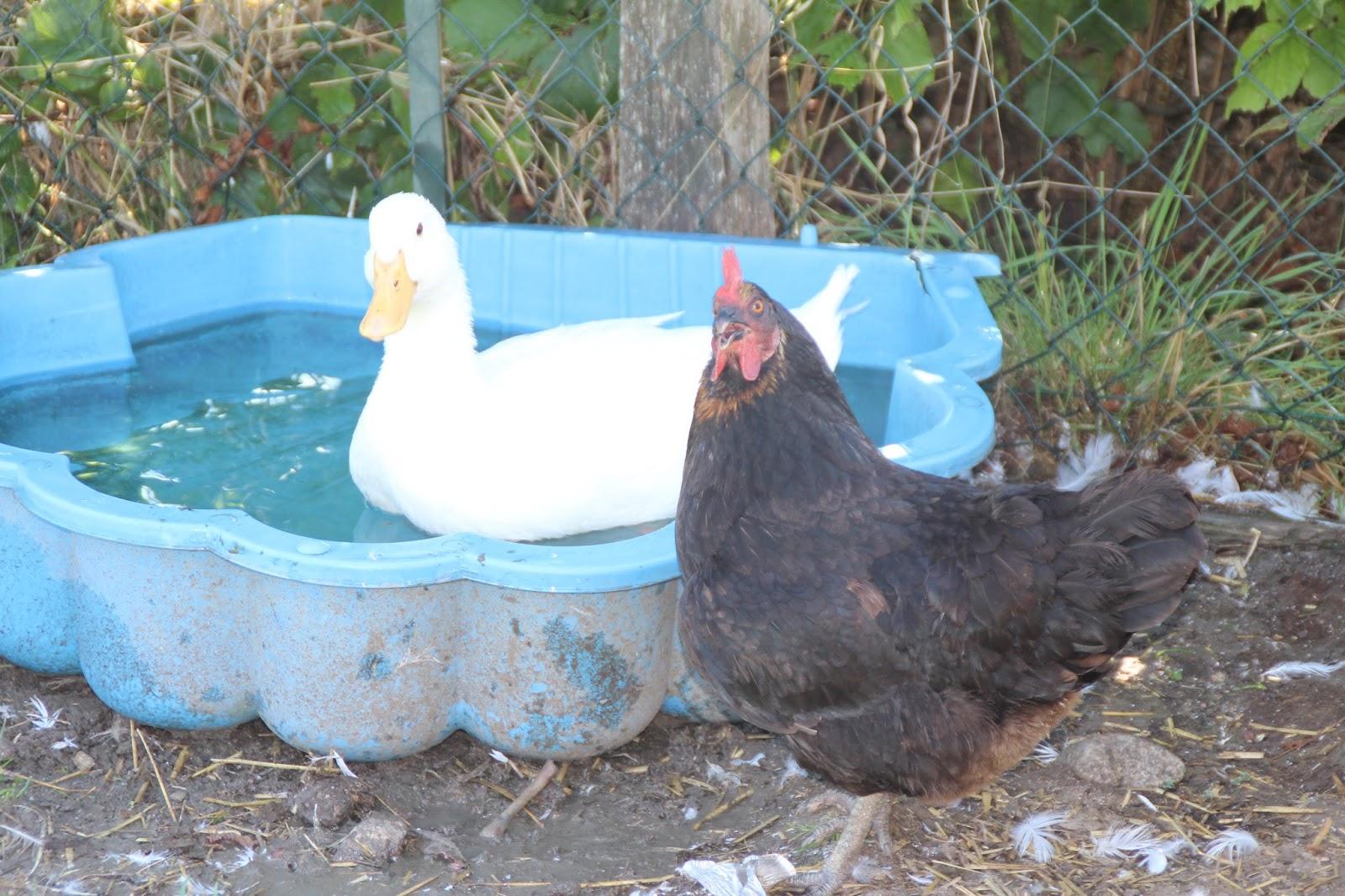 Doggychon et ses amis bien prot ger poules et canards en for Bien nourrir ses poules