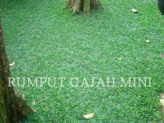 rumput gajah mini taman rumah kita