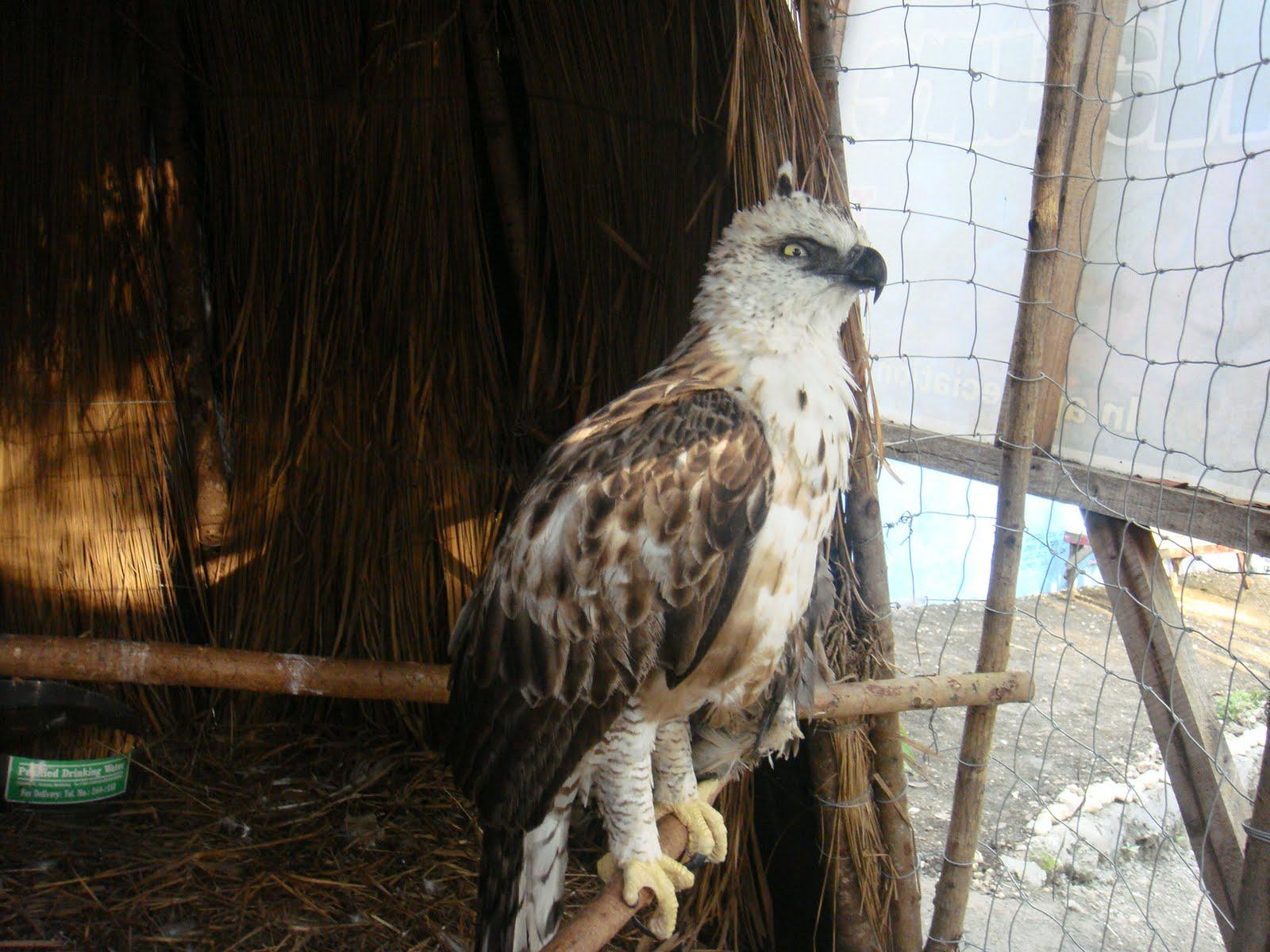 Cebu Zoo Philippine Hawk Eagle