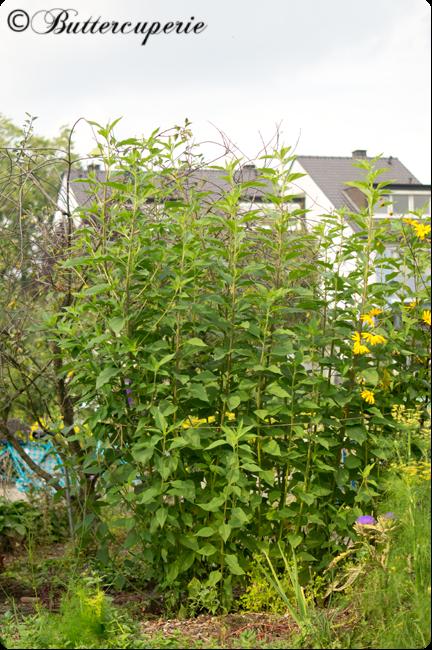 Topinambur-Pflanze