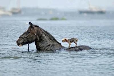 Caballo y perro en el agua