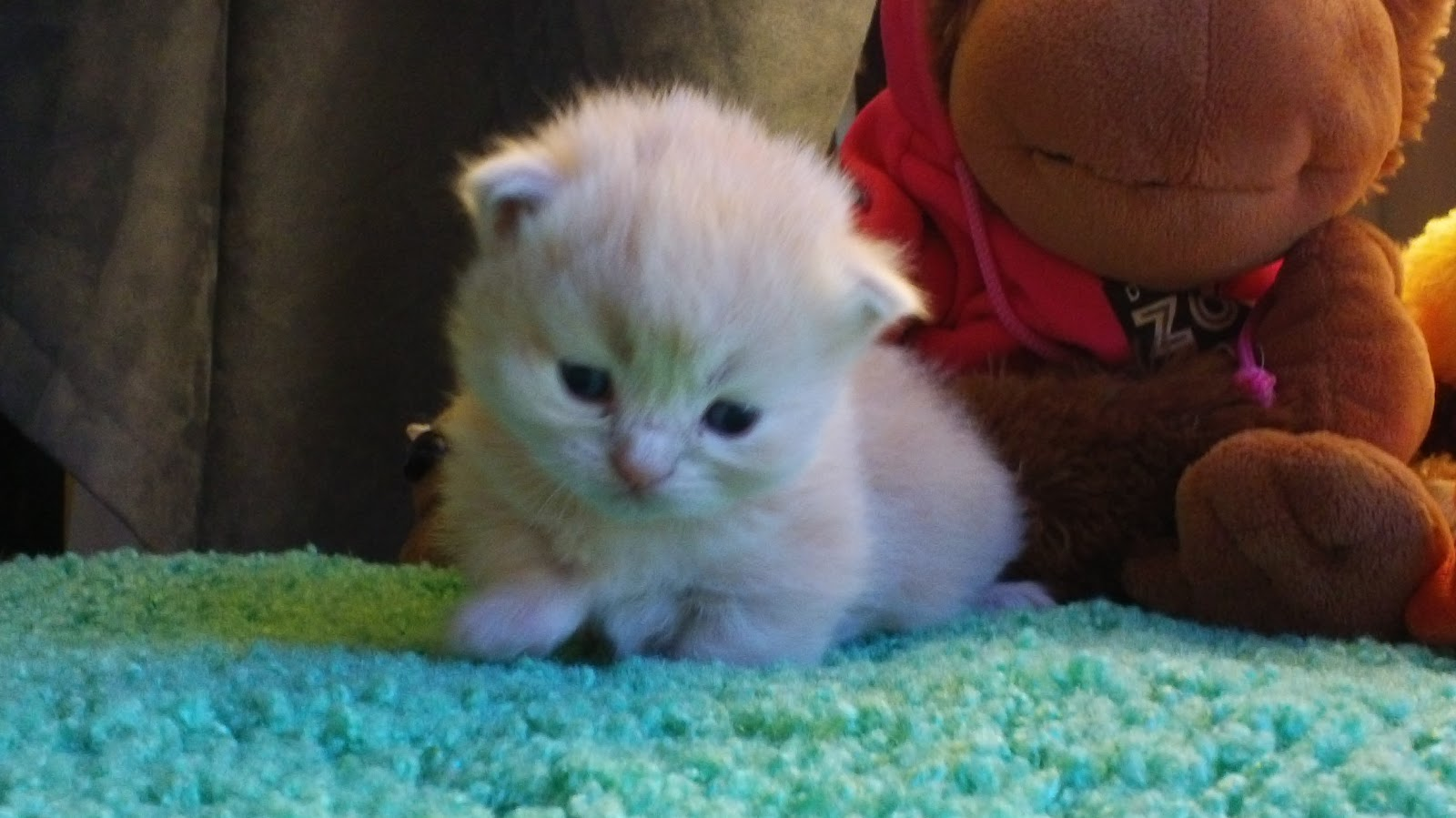 Mile High Munchkins Adorable Dwarf Kittens for Sale