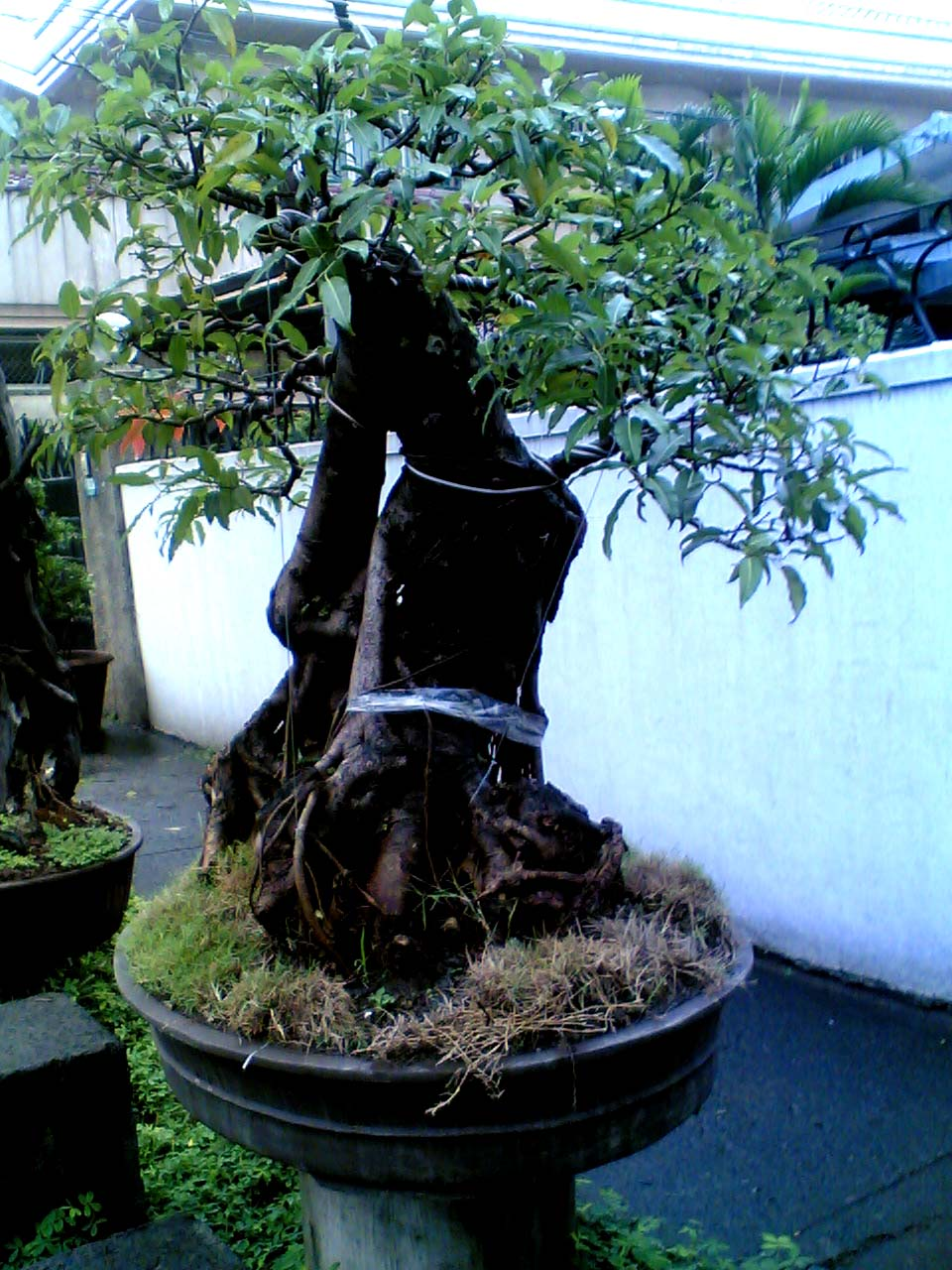 Naturalism The Eighth Sense Bonsai Bonsai Everywhere Would