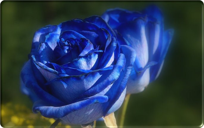Beautiful Blue Rose Flowers Art Wallpapers And Photos, Gallary