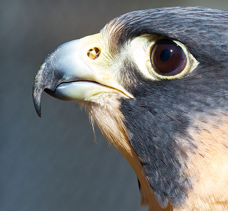 Red-Peregrine-Falcon-Notch-in-Beak-close